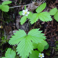 Flowers: Fragaria vesca. ~ By Arthur Haines. ~ Copyright © 2020. ~ arthurhaines[at]wildblue.net