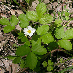 Plant form: Fragaria vesca. ~ By Keir Morse. ~ Copyright © 2021 Keir Morse. ~ www.keiriosity.com ~ www.keiriosity.com