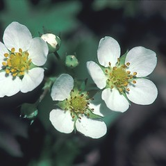Flowers: Fragaria virginiana. ~ By John Lynch. ~ Copyright © 2020 New England Wild Flower Society. ~ Image Request, images[at]newenglandwild.org