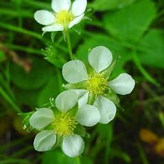 Flowers: Fragaria virginiana. ~ By Glen Mittelhauser. ~ Copyright © 2020 Glen Mittelhauser. ~ www.mainenaturalhistory.org