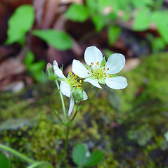 Flowers: Fragaria virginiana. ~ By Arthur Haines. ~ Copyright © 2021. ~ arthurhaines[at]wildblue.net