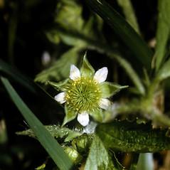 Flowers: Geum laciniatum. ~ By Robert H. Mohlenbrock. ~  Public Domain. ~  ~ USDA-NRCS Plants Database - plants.usda.gov/java/