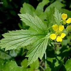 Leaves: Geum macrophyllum. ~ By Keir Morse. ~ Copyright © 2021 Keir Morse. ~ www.keiriosity.com ~ www.keiriosity.com