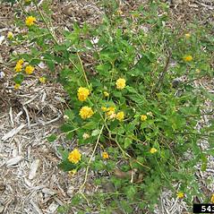 Plant form: Kerria japonica. ~ By Jennifer Olson. ~ Copyright © 2020 CC BY-NC 3.0. ~  ~ Bugwood - www.bugwood.org/