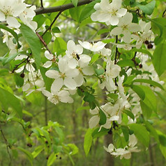 Flowers: Malus baccata. ~ By Alexey Zinovjev. ~ Copyright © 2021. ~ webmaster[at]salicicola.com ~ Salicicola - www.salicicola.com/