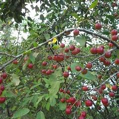Fruits: Malus baccata. ~ By Alexey Zinovjev. ~ Copyright © 2020. ~ webmaster[at]salicicola.com ~ Salicicola - www.salicicola.com/