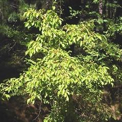 Plant form: Malus baccata. ~ By Alexey Zinovjev. ~ Copyright © 2021. ~ webmaster[at]salicicola.com ~ Salicicola - www.salicicola.com/