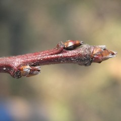 Winter buds: Malus floribunda. ~ By Bruce Patterson. ~ Copyright © 2021 Bruce Patterson. ~ foxpatterson[at]comcast.net