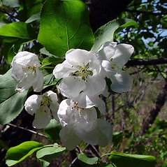 Flowers: Malus pumila. ~ By Arthur Haines. ~ Copyright © 2021. ~ arthurhaines[at]wildblue.net