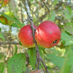 Fruits: Malus pumila. ~ By Arthur Haines. ~ Copyright © 2021. ~ arthurhaines[at]wildblue.net
