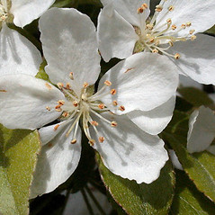 Flowers: Malus sieboldii. ~ By Andrew Nelson. ~ Copyright © 2020 Andrew Nelson. ~ andrew.nelson[at]oswego.edu   ~ Flora of Rice Creek Field Station - www.oswego.edu/academics/opportunities/rice_creek_field_station