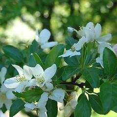 Flowers: Malus sieboldii. ~ By Arnold Arboretum. ~ Copyright © 2021 Arnold Arboretum. ~ Arnold Arboretum Horticultural Library, hortlib[at]arnarb.harvard.edu