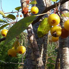 Fruits: Malus sieboldii. ~ By Jill Weber. ~ Copyright © 2020 Jill Weber. ~ jillweber03[at]gmail.com