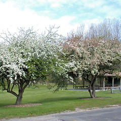 Plant form: Malus sieboldii. ~ By Andrew Nelson. ~ Copyright © 2020 Andrew Nelson. ~ andrew.nelson[at]oswego.edu   ~ Flora of Rice Creek Field Station - www.oswego.edu/academics/opportunities/rice_creek_field_station