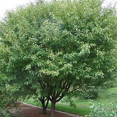 Plant form: Malus sieboldii. ~ By Arnold Arboretum. ~ Copyright © 2021 Arnold Arboretum. ~ Arnold Arboretum Horticultural Library, hortlib[at]arnarb.harvard.edu