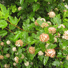 Plant form: Physocarpus opulifolius. ~ By Donna Kausen. ~ Copyright © 2020 Donna Kausen. ~ 33 Bears Den, Addison, ME 04606