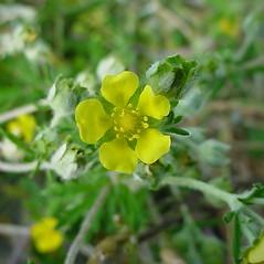 Flowers: Potentilla argentea. ~ By Glen Mittelhauser. ~ Copyright © 2021 Glen Mittelhauser. ~ www.mainenaturalhistory.org