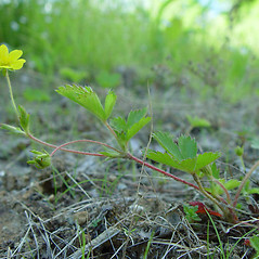 Additional features: Potentilla canadensis. ~ By Arthur Haines. ~ Copyright © 2021. ~ arthurhaines[at]wildblue.net