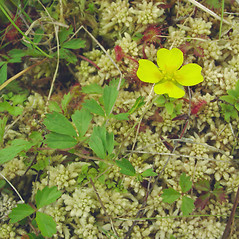 Flowers: Potentilla canadensis. ~ By Glen Mittelhauser. ~ Copyright © 2020 Glen Mittelhauser. ~ www.mainenaturalhistory.org