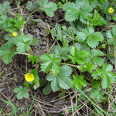 Plant form: Potentilla canadensis. ~ By Arthur Haines. ~ Copyright © 2021. ~ arthurhaines[at]wildblue.net