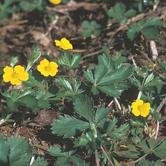 Plant form: Potentilla canadensis. ~ By Frank Bramley. ~ Copyright © 2020 New England Wild Flower Society. ~ Image Request, images[at]newenglandwild.org