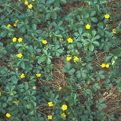 Plant form: Potentilla canadensis. ~ By Pennie Logemann. ~ Copyright © 2021 New England Wild Flower Society. ~ Image Request, images[at]newenglandwild.org