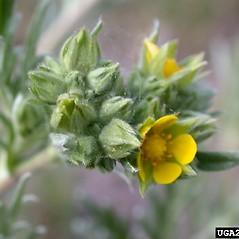 Flowers: Potentilla gracilis. ~ By Mary Ellen Harte. ~ Copyright © 2020 CC BY-NC 3.0. ~  ~ Bugwood - www.bugwood.org/