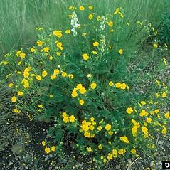 Plant form: Potentilla gracilis. ~ By Dave Powell. ~ Copyright © 2020 CC BY-NC 3.0. ~  ~ Bugwood - www.bugwood.org/