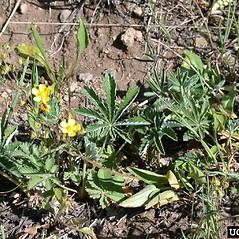 Plant form: Potentilla gracilis. ~ By Mary Ellen Harte. ~ Copyright © 2020 CC BY-NC 3.0. ~  ~ Bugwood - www.bugwood.org/