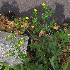 Plant form: Potentilla intermedia. ~ By Janet Novak. ~ Copyright © 2020 Janet Novak. ~ Requests for image use not currently accepted by copyright holder ~ Connecticut Botanical Society - www.ct-botanical-society.org/