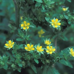 Flowers: Potentilla norvegica. ~ By John Lynch. ~ Copyright © 2021 New England Wild Flower Society. ~ Image Request, images[at]newenglandwild.org