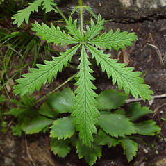 Leaves: Potentilla recta. ~ By Arthur Haines. ~ Copyright © 2020. ~ arthurhaines[at]wildblue.net