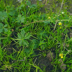 Plant form: Potentilla reptans. ~ By Glen Mittelhauser. ~ Copyright © 2020 Glen Mittelhauser. ~ www.mainenaturalhistory.org