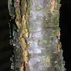 Bark: Prunus americana. ~ By Steven Baskauf. ~ Copyright © 2020 CC-BY-NC-SA. ~  ~ Bioimages - www.cas.vanderbilt.edu/bioimages/frame.htm