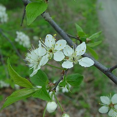 Flowers: Prunus americana. ~ By Arthur Haines. ~ Copyright © 2020. ~ arthurhaines[at]wildblue.net