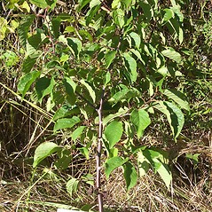 Plant form: Prunus americana. ~ By Keith Kanoti. ~  Public Domain. ~  ~ Maine Forest Service. 2008. Forest Trees of Maine. Maine Forest Service, 22 State House Station, Augusta, ME 04333. 176pp.
