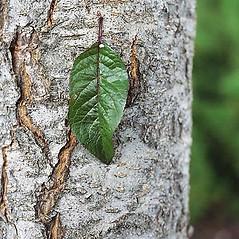 Bark: Prunus cerasifera. ~ By Tom DeGomez. ~ Copyright © 2020 CC BY-NC 3.0. ~  ~ Bugwood - www.bugwood.org/