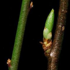 Winter buds: Prunus cerasifera. ~ By Ben Legler. ~ Copyright © 2020 Ben Legler. ~ mountainmarmot[at]hotmail.com ~ U. of Washington - WTU - Herbarium - biology.burke.washington.edu/herbarium/imagecollection.php