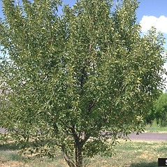 Plant form: Prunus cerasus. ~ By Howard Schwartz. ~ Copyright © 2021 CC BY-NC 3.0. ~  ~ Bugwood - www.bugwood.org/