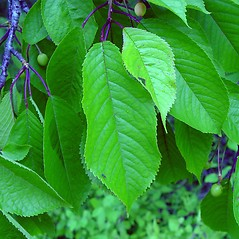 Leaves: Prunus cerasus. ~ By Arthur Haines. ~ Copyright © 2021. ~ arthurhaines[at]wildblue.net
