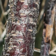 Bark: Prunus maritima. ~ By Bryan Hamlin. ~ Copyright © 2021 Bryan Hamlin. ~ bryanthamlin[at]gmail.com