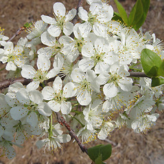 Flowers: Prunus maritima. ~ By Donald Cameron. ~ Copyright © 2020 Donald Cameron. ~ No permission needed for non-commercial uses, with proper credit