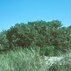 Plant form: Prunus maritima. ~ By John Lynch. ~ Copyright © 2020 New England Wild Flower Society. ~ Image Request, images[at]newenglandwild.org