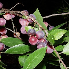 Leaves: Prunus maritima. ~ By Lisa Mattei. ~ Copyright © 2020 New England Wild Flower Society. ~ Image Request, images[at]newenglandwild.org