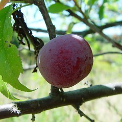 Fruits: Prunus nigra. ~ By Arthur Haines. ~ Copyright © 2020. ~ arthurhaines[at]wildblue.net