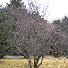 Plant form: Prunus nigra. ~ By Bruce Patterson. ~ Copyright © 2020 Bruce Patterson. ~ foxpatterson[at]comcast.net