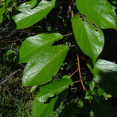 Leaves: Prunus nigra. ~ By Arthur Haines. ~ Copyright © 2020. ~ arthurhaines[at]wildblue.net