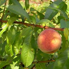 Fruits: Prunus persica. ~ By Alexey Zinovjev. ~ Copyright © 2020. ~ webmaster[at]salicicola.com ~ Salicicola - www.salicicola.com/