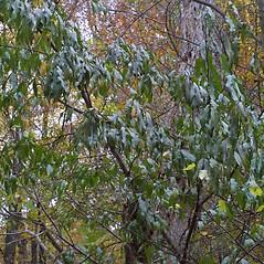 Plant form: Prunus persica. ~ By Steven Baskauf. ~ Copyright © 2021 CC-BY-NC-SA. ~  ~ Bioimages - www.cas.vanderbilt.edu/bioimages/frame.htm