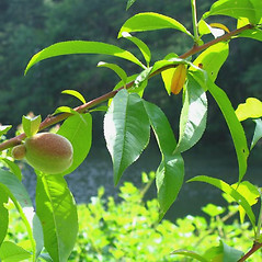 Leaves: Prunus persica. ~ By Alexey Zinovjev. ~ Copyright © 2020. ~ webmaster[at]salicicola.com ~ Salicicola - www.salicicola.com/